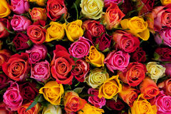 Colorful roses background. Beautiful, high quality, good for holidays, valentines's gift Royalty Free Stock Image