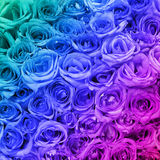 Colorful Roses. Background. Royalty Free Stock Images