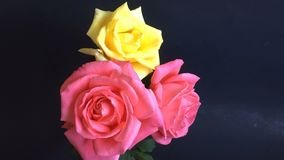 Colorful  roses blossoming out time lapse stock footage