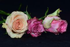 Colorful roses close up on the black bacgraund royalty free stock photography