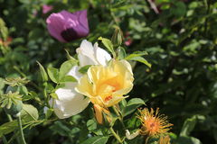 Colorful roses Royalty Free Stock Photography