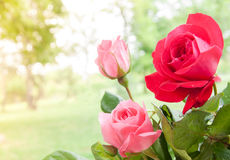 Colorful roses with raindrops blossom bouquet in the garden. Close up Royalty Free Stock Images