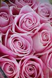This is a colorful roses. The roses,This is a colorful roses stock image