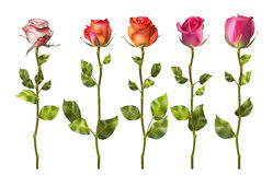 Colorful roses set flowers. EPS 10 Stock Photography
