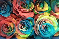 Colorful Roses Stock Photo