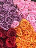 Rose flower in vase. Colorful Roses for Valentines Day stock photography