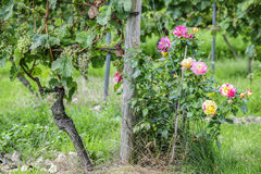 Colorful Roses in Vineyard Royalty Free Stock Photos
