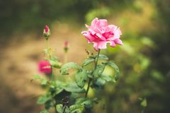 Colorful roses with water drops stock photo