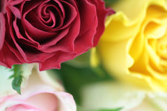 Colorful roses whit macro shot Royalty Free Stock Photo