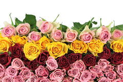 Colorful roses on white background.  Royalty Free Stock Images