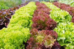 Colorful rows of different kind of lettuce. Planted in garden Royalty Free Stock Photos