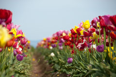 Colorful Rows of Petals Royalty Free Stock Photo