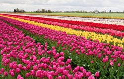 Colorful rows of tulips Royalty Free Stock Image