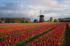 Colorful rows of tulips in front of a windmill. Diagonal rows of colorful tulips in red and pink in a landscape with a flower field and a windmill in the Royalty Free Stock Image