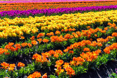 Colorful Rows of Tulips Stock Photos