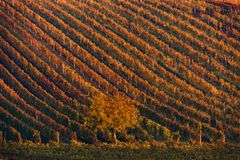 Colorful Rows Of Vineyard Grape Vines. Autumn Landscape With Colorful Vineyards And Tree. Autumn Grape Vineyards Of Czech Republic Stock Photos