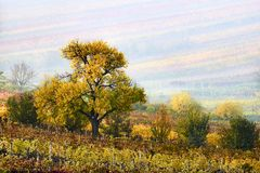 Colorful rows of vineyards in autumn. yellow tree In fog among vineyards. Autumn scenic landscape of South Moravia in Czech Repub stock image
