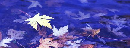 Colorful rusty leaves of the maple tree. Autumnal foliage on the. Surface of the river. Autumn concept for backgrounds. Beautiful maple leaf and blue sky in royalty free stock photography