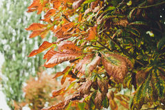 Red autumn leaves of chestnut. Autumn in the city Royalty Free Stock Images
