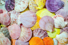 Colorful Scallop seashell Stock Photography