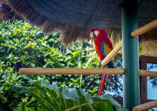 Colorful scarlet macaw. Antigua, Guatemala Stock Images
