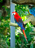 Colorful Scarlet Macaw, Macaws are members of the parrot family. Royalty Free Stock Images