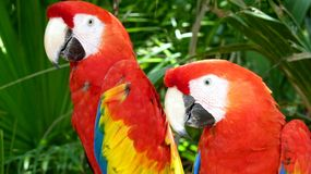 Colorful scarlet macaw Royalty Free Stock Images