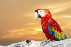 Colorful Scarlet Macaw Stock Images