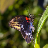 Colorful Scarlet Mormon Butterfly Stock Photo