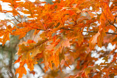 Colorful Scarlet Oak leaves in fall Stock Photo