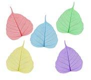 Colorful sceleton leaves bodhi , macro, isolated on white Stock Images
