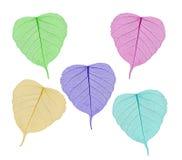 Colorful sceleton leaves bodhi , macro, isolated on white Stock Photo