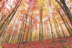 Colorful scenic autumn forest, red leaves on the ground. View to treetops royalty free stock images