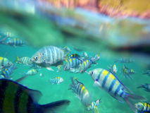 Colorful school of fish Stock Photography