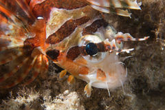 A colorful scorpion fish detail Cebu Philippines. Underwater stock photography
