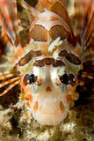 A colorful scorpion fish detail Cebu Philippines. Underwater royalty free stock photo