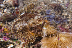 Colorful scorpion fish on hard red coral macro Stock Photo