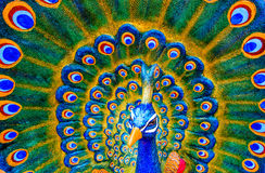 Colorful sculpture of male peacock Stock Images
