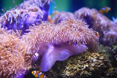 Colorful Sea anemone. Sea anemones are a group of water-dwelling, predatory animals of the order Actiniaria. They are named for the anemone, a terrestrial flower Stock Photo
