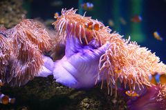 Colorful Sea anemone Stock Photography