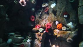 Colorful Sea Anemones stock video footage