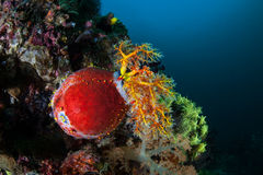 Colorful Sea Cucumber on Indonesian Reef. A colorful Sea Apple clings to a healthy reef in Komodo National Park, Indonesia. This region is home to extraordinary Stock Image