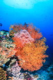 Colorful sea fans on a tropical reef Royalty Free Stock Photos