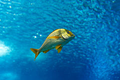 Colorful sea fish Royalty Free Stock Image