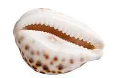 Colorful sea shell Stock Photography