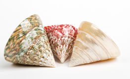 Colorful sea shells isolated Royalty Free Stock Images
