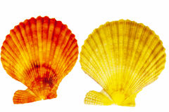 Colorful sea shells of mollusk isolated on white  background Stock Image