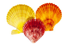 Colorful sea shells of mollusk isolated on white  background Stock Photos