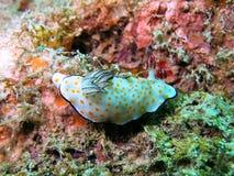 Colorful sea slug Stock Images