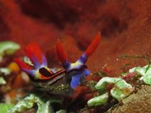 Colorful sea slug. Cruising the reef in the Komodo National Park in Indonesia stock photos